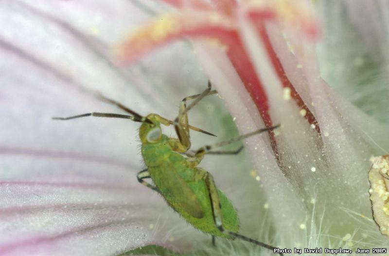 Aphid on Geranium flower