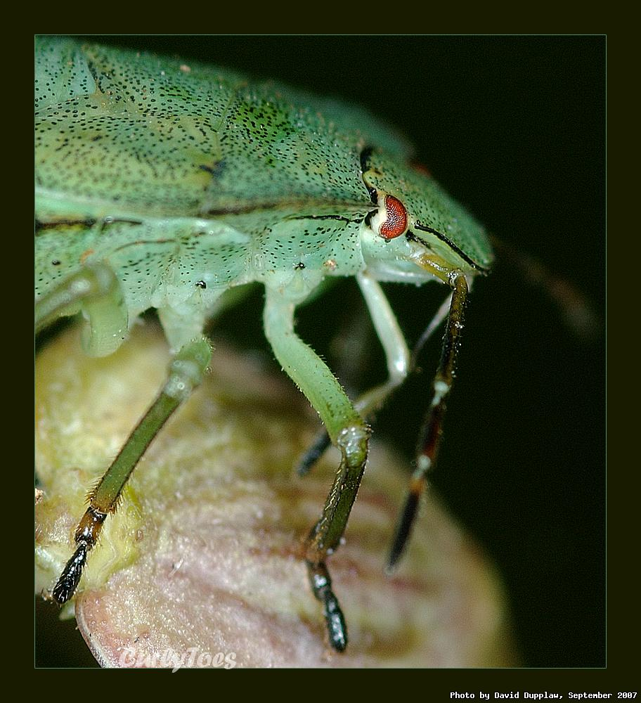 Shield Bug Close-up