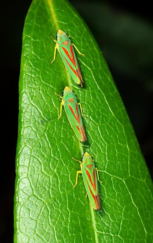 Scarlet and Green Leafhoppers