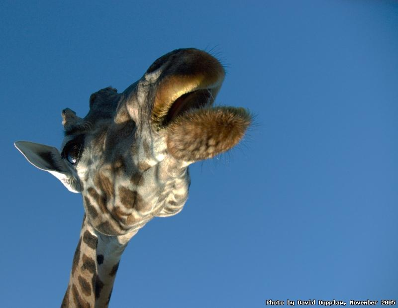 The Singing Giraffe
