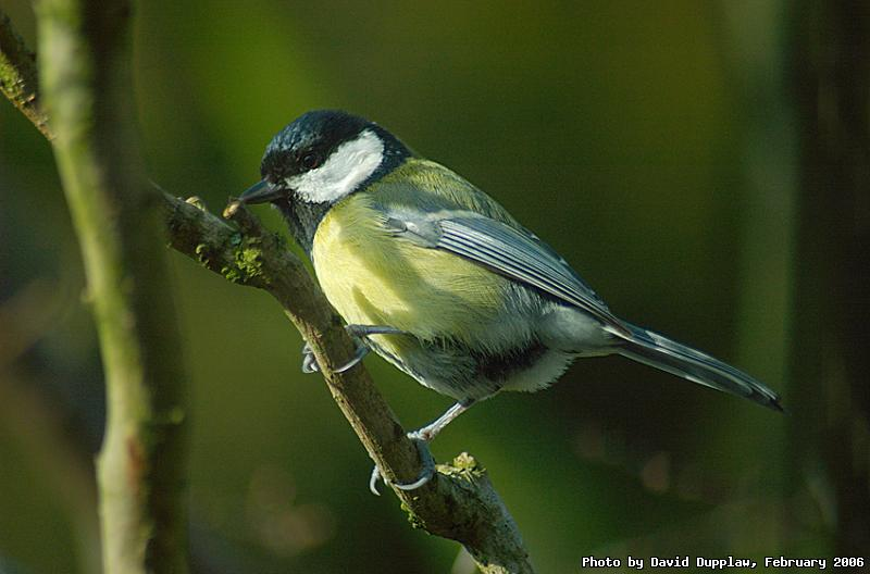 Great Tit