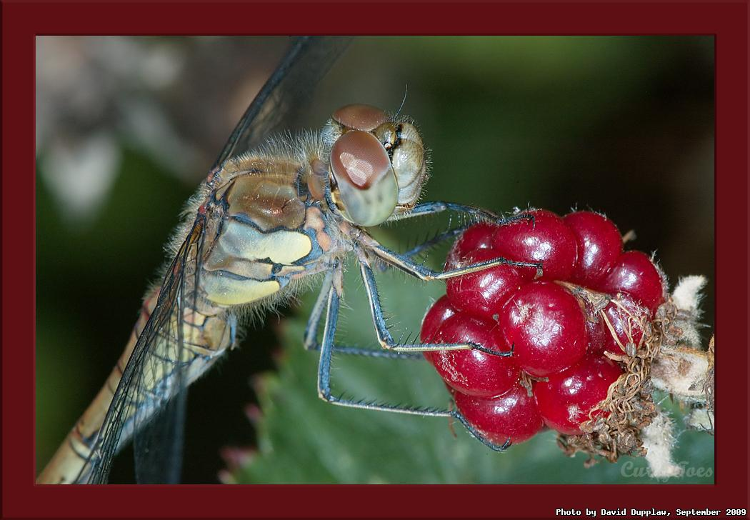 Common Darter on Blackberry